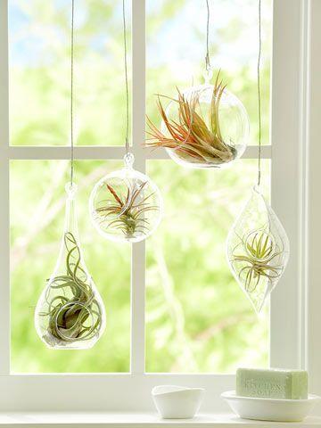 plantes épiphytes suspendues dans des vases clairs