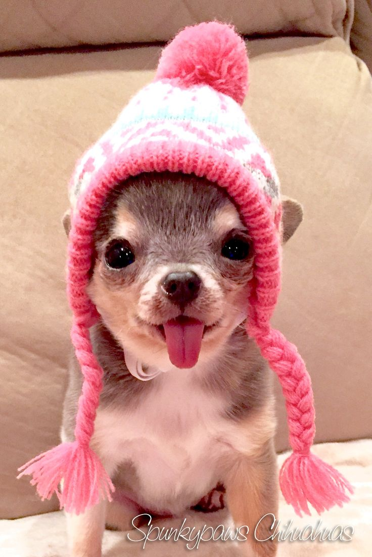 17+ ideas about Chihuahuas on Pinterest | Chihuahua dogs ...