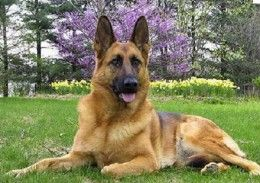 Some facts about German Shepherds