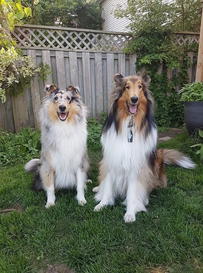 A Blue Merle Collie And A Sable And White Collie Rough Collie Beautiful Dogs Collie Dog