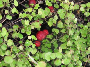 Great this is coastal hardy nz native plant - - http://mckechnienurseries.nz/images/photos/fucpro.jpg