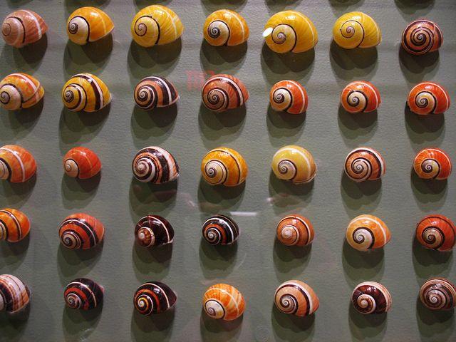 shell variations in Cuban Land Snails  Polymita picta