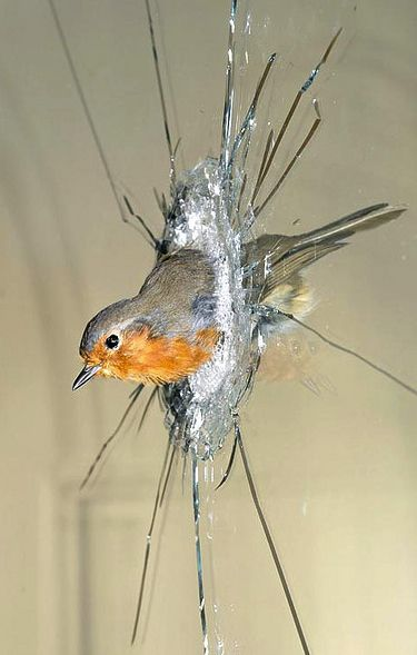 """In Polly Morgan's """"Morning"""" from 2007, a taxidermied robin is caught in a pane of glass. Image via Flickr, copyright Polly Morgan."""