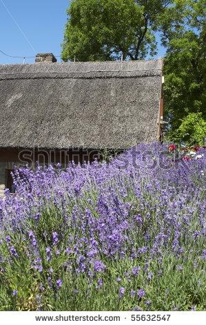 Lavender near a farmhouse in Tihany,Hungary