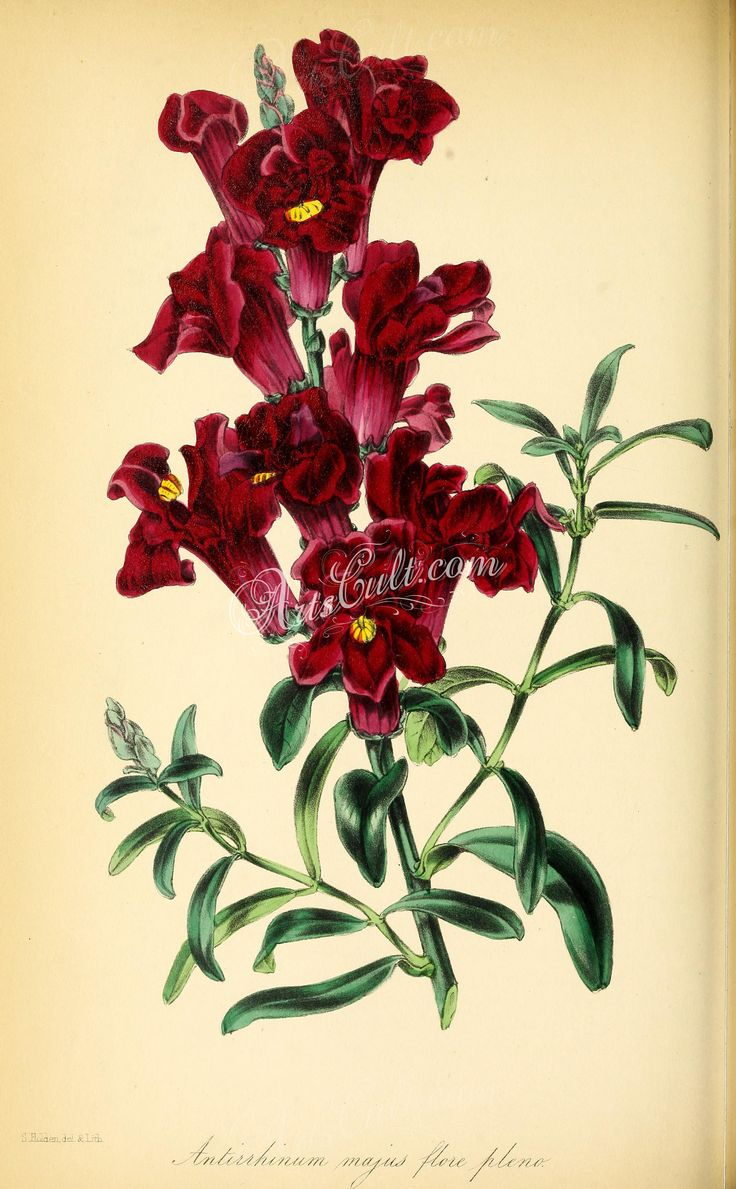 Double blood-coloured Snap-dragon, antirrhinum majus flore pleno   ...