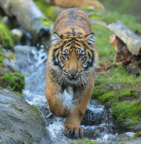 Bima, tiger cub in stream 3079 | Flickr - Photo Sharing!