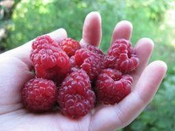 Чтобы в ягодах малины не было червей. - Садоводка