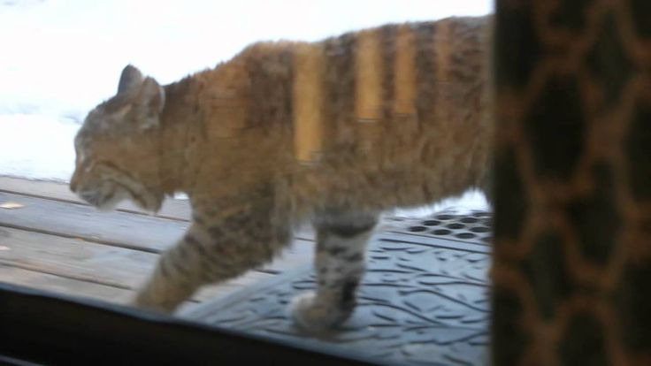 Watch the video of this curious bobcat.