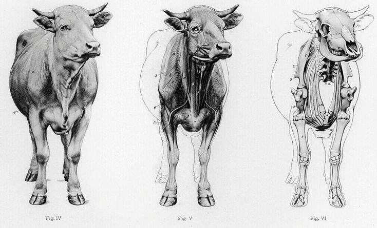 buffalo diagram buffalo anatomy muscle and skeleton diagram | anatomy note ...
