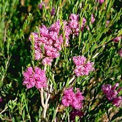 Melaleuca thymifolia Thyme honey myrtle..love it.