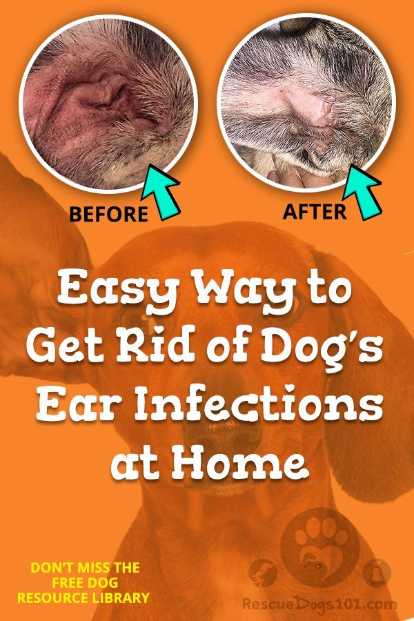 The Secret To Getting Rid Of Ear Infections In Your Dog At Home Dogs Ears Infection Dog Ear Infection Remedy Dog Ear Infection Treatment