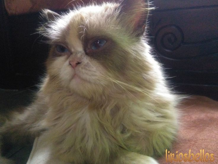 #Cat #mycatSherlock #photography  #sweet #fromCostaRica #purelife #persiancat