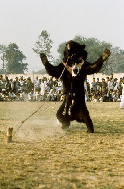 A helpless bear is terrified during a bear baiting ...
