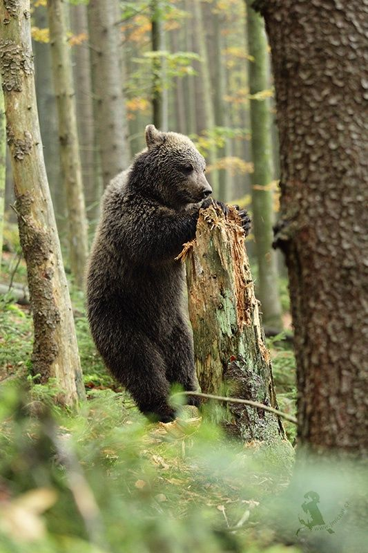 Photograph Brown bear by Jiří Míchal on 500px