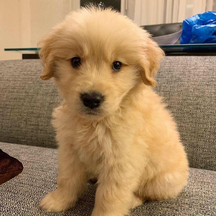 Chien Cute Puppy Chiot Golden Retriever Mignon Golden In 2020