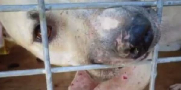 Justice was not served and this innocent helpless puppies and dogs were given back to their abusers! OMG petition: Help protect 23 pitbulls! The police were correct to seize these animals!, United States Please sign this critical petition @ https://www.thepetitionsite.com/en-gb/359/377/138/demand-permanent-seizure-of-23-pitbulls/