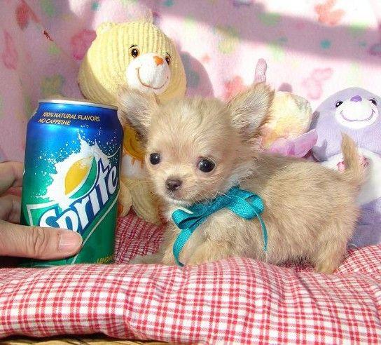 Superkleine Mini Chihuahua Welpen (Langhaar und Kurzhaar