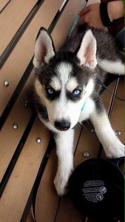 Siberian Husky puppy