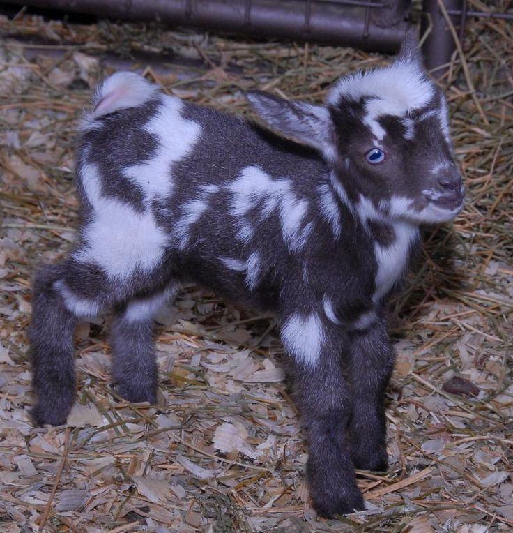 Farm Swiftwind Nigerian DWARF Goats In Nebraska FOR