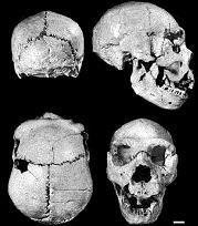 Homo heidelbergensis: Se trata de individuos muy altos (1,80 m) y fuertes (llegarían a 100 kg), de grandes cráneos (casi 1.400 cm3) todavía muy aplanados, con mandíbulas salientes y gran abertura nasal. Especie intermedia entre el Homo antecessor y el hombre de Neandertal. Datan entre 500.000 y 250.000 años.