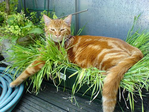 Herbe a chat jardini re loisirs cr atifs pinterest - Herbe a chat ...