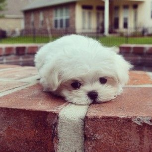 Monte is not a fan of Mondays. | Monte The Maltese Is The Cutest Puppy You'll Ever Meet