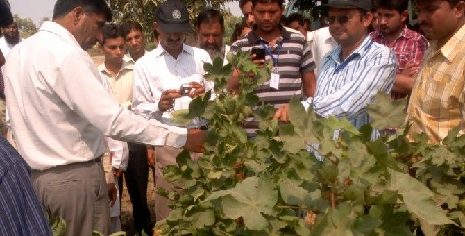 Significance of Morphological Trait (Red Plant Color) in Cotton Crop.