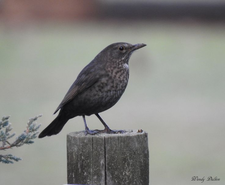 In the back garden a lovely female Blackbird sits on a post waiting for her mate Autumn 2016