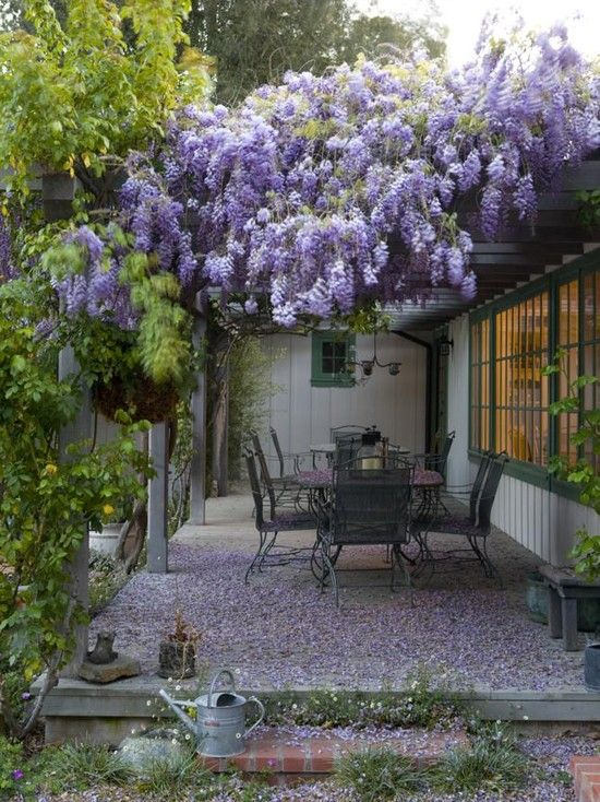 Another arbour/porch smothered in Wisteria.  It smells wonderful but you have to be prepared to sweep up a lot of the flowers as they drop ... My favourite variety is Wisteria floribunda 'Macrobotrys' which has the longest racemes.