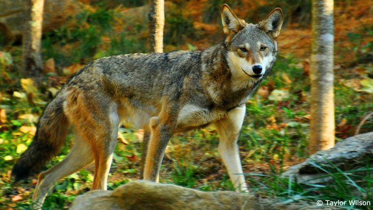 Red wolves are dangerously close to extinction in the wild, and they need your help.   Under relentless pressure from special interests in North Carolina, the U.S. Fish and Wildlife Service (FWS) has all but abandoned its efforts to recover these shy wolves in the wild. Red wolves can still be recovered,...