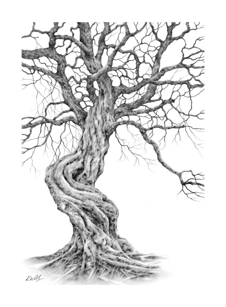 Twisted Tree. Pencil drawing by Kevin Williamson.