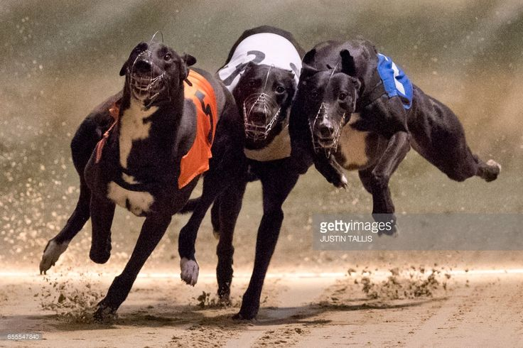 TOPSHOT - Greyhounds compete on the track during an evening of greyhound racing at Wimbledon Stadium in south London on March 18, 2017. March 25 will see the final day of racing at the Wimbledon dog track which will close to be demolished to make way for a new stadium for AFC Wimbledon. The closer of track will mark the end of the once hugely popular working-class sport of greyhound racing in London. / AFP PHOTO / Justin TALLIS / TO