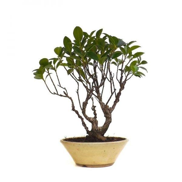25 best ideas about bonsai ficus on pinterest bonsai bonsai trees and bonsai tree price. Black Bedroom Furniture Sets. Home Design Ideas