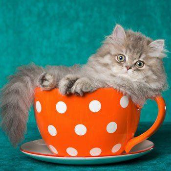 Mint a legtöbb macsek, a perzsa sem rajong a fürdésért. Itt azonban nem csak finnyásságról van szó. Ha a cicánkat mégis megfürdetjük, akkor ápoló sampont használjunk, és mindenképpen szárítsuk meg az állatot. Bár ez eleinte nem lesz kellemes, de elkerülhetetlen. A dús bunda ugyanis nagyon nehezen szárad, így a cica könnyen megfázhat.