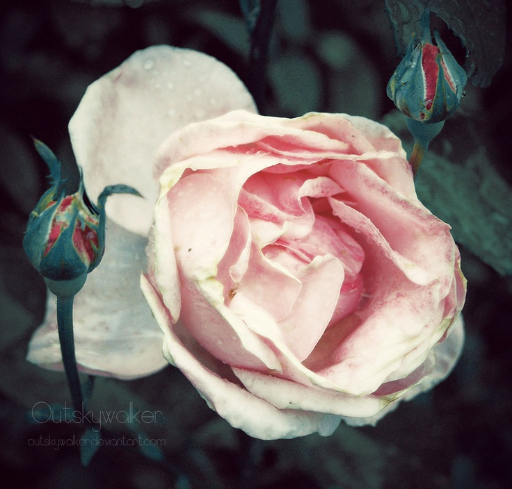 #rose #nature  The Sun Will Shine by *outskywalker on deviantART