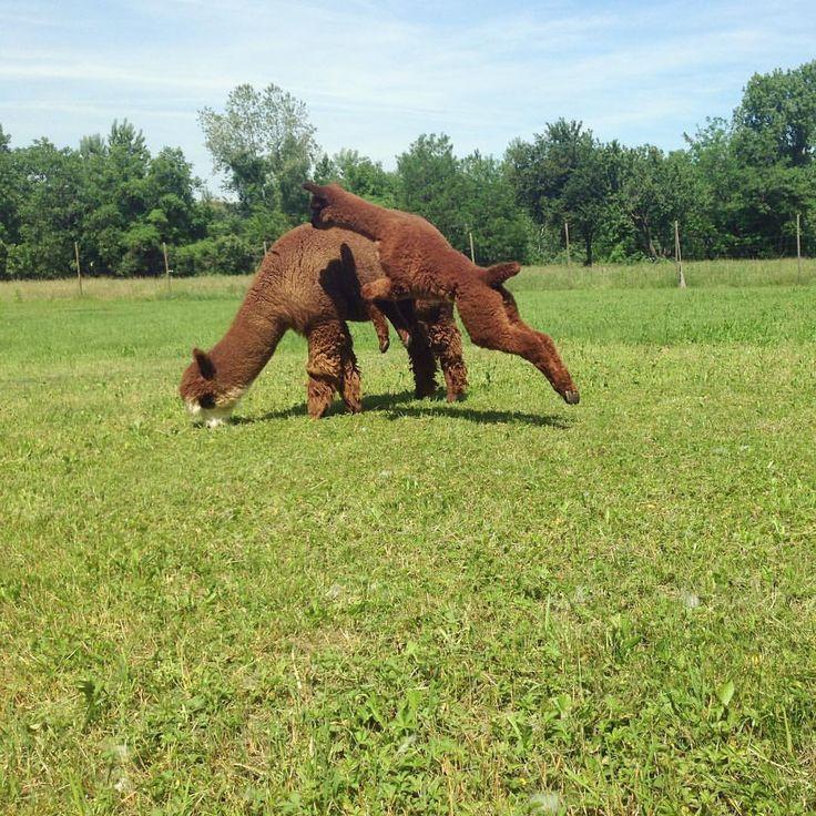 """Mi piace"": 91, commenti: 3 - Piccolo Alpaca (@piccolo_alpaca) su Instagram: ""The Mom's hard life ❤️ #alpaca #alpacas #cria #brownalpaca #jump #momandme #instafun"""
