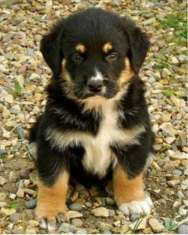german shepherd rottweiler mix puppies for sale Zoe Fans
