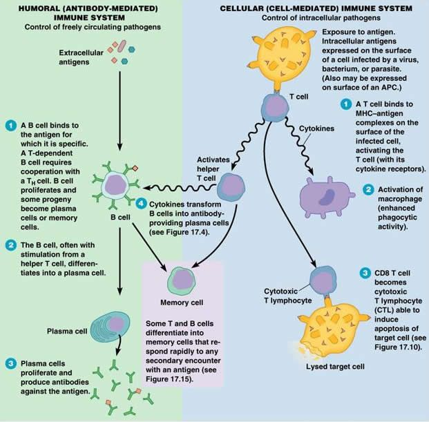 an overview of the pathogens biology in the immune system Ap biology: immune system overview the immune responses of many dangerous pathogens it may encounter the immune system recognizes foreign.