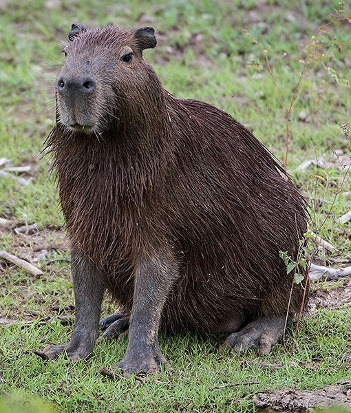 In Brazil, the worlds largest rodent, a capybara, is pictured looking adorable in damp fur. - YASUYOSHI CHIBA/AFP/Getty Images