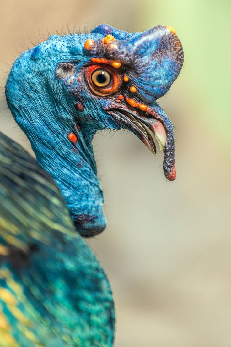 Ocellated Turkey. Such color...