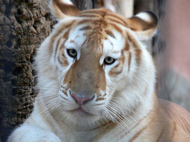 tigre dorado bebe - Buscar con Google