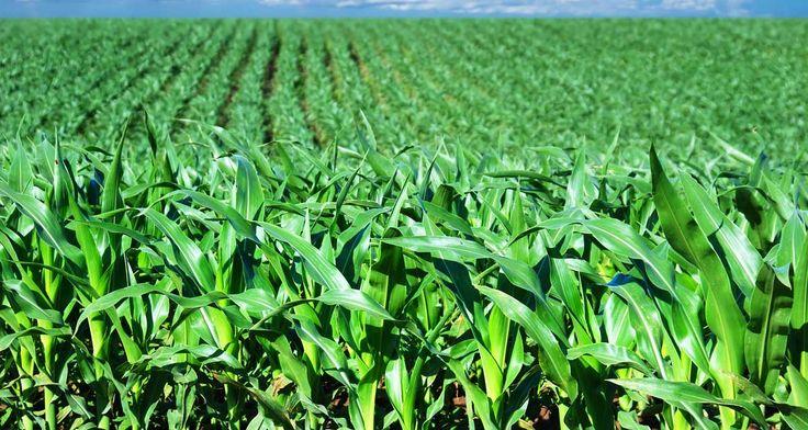 Plaga w kukurydzy
