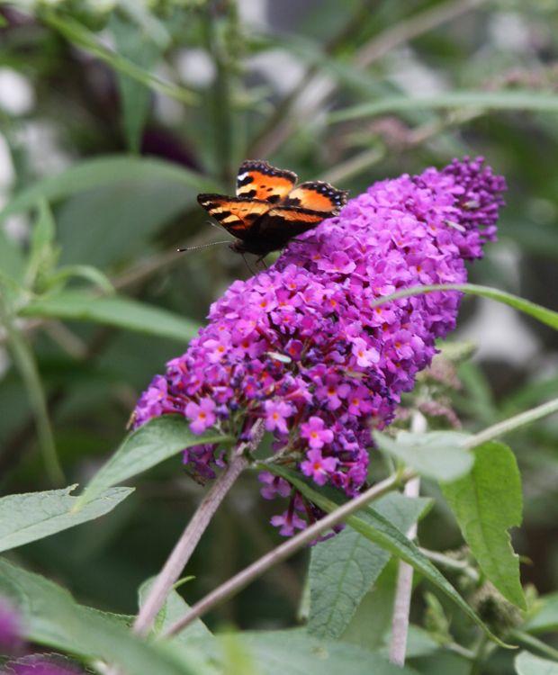 En Sommerfuglebusk Beriger Ikke Kun Haven Med Farverige Blomster Men Tiltraekker Ogsa Havens Smukkeste Insekter Sommerfuglene Laes Mere Om Hvor Sommerfuglebusk