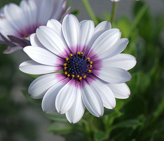 Purple Daisy Flower: White Cape Daisy With Purple Center
