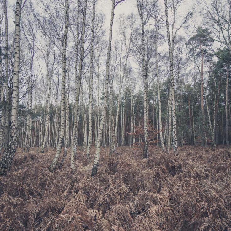 Bild 32 - Zadlitzbruch in der Dübener Heide bei Torgau | © Michael Eichhorn #zadlitzbruch #dübener_heide #naturschutzgebiet #sachsen #saxony #ausflugsziel #torf #moor #hochmoor #wandern #dübenerheide #duebenerheide #torgau #baddueben #baddüben #wald #sumpf #sumpfgebiet #natur #naturschutz #reservat #biosphäre #biosphere #farn #naturpark #falkenberg #trossin #dresden #nordsachsen #leipzig #sehenswürdigkeit #ziel #sonnentau #sumpfdotterblume #kranich