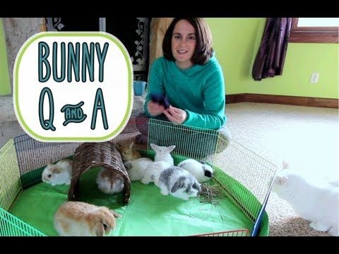 Holland Lop Bunny Q&A - and Baby Bunny Update - YouTube