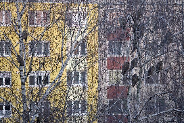 Erdei fülesbagoly, 6723 Szeged, Kemes utca. Alkonyattájt a lakótelepi házak között meghúzódó fák ágain várják az éjszakát, hogy végre vadászni indulhassanak