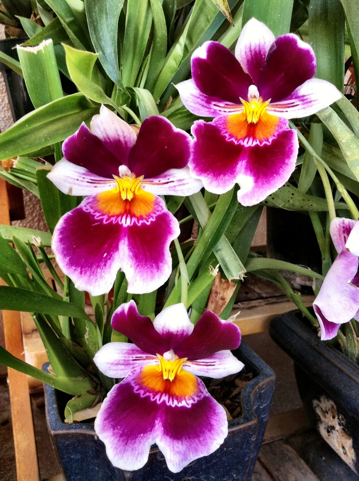 Purple Miltonia orchid in my menagerie of plants