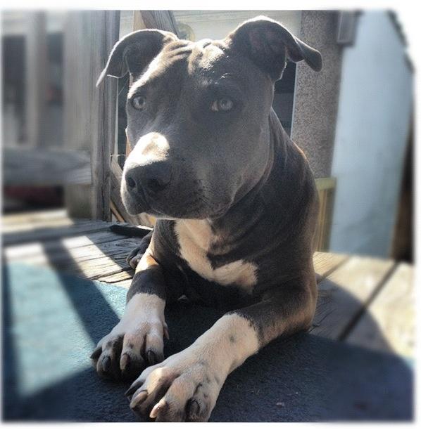 bluenose pitbull