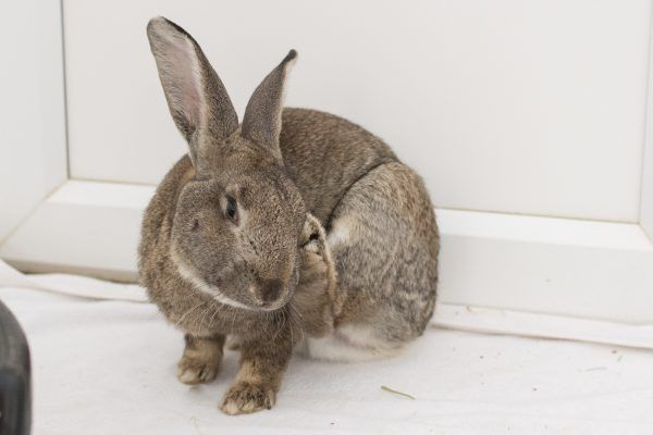 Rspca Chesterfield North Derbyshire Branch Rabbits Available For Adoption Adoption Giant Breeds Breeds